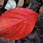 Dogwood Leaf Poster