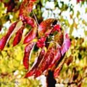 Dogwood Leaves Poster