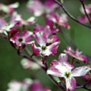 Dogwood Tree Poster