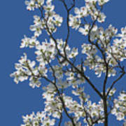 Dogwood Tree In Spring Poster