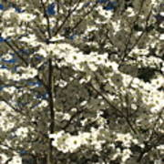 Dogwoods In Bloom Poster