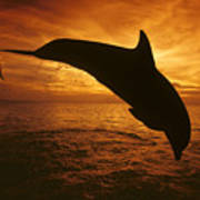 Dolphins And Sunset Poster