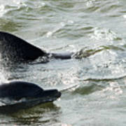 Dolpins In Estero Bay Poster