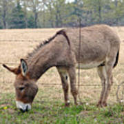 Donkey Finds Greener Grass Poster