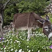 Donkey Grazing In Greece Poster