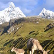 Donkeys Grazing In The Mountains Poster