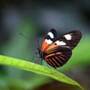 Doris Longwing Butterfly 2017 Poster