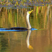 Double-crested Cormorant - 2 Poster