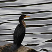 Double-crested Cormorant 20121101_128 Poster