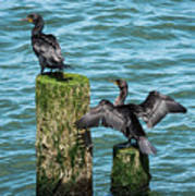 Double-crested Cormorants Poster