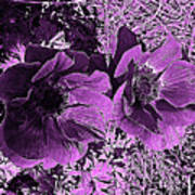 Double Poppies In Purple Poster
