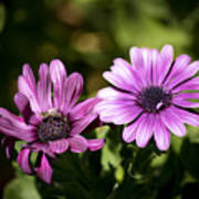 Double Purple African Daisy Poster