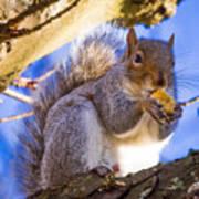 Douglas Squirrel Eating Poster