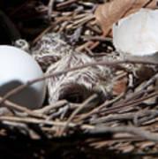 Dove Hatchling Poster