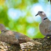 Doves In A Tree Poster