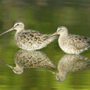 Dowitcher Reflections Poster