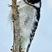 Downey Woodpecker 013 Poster