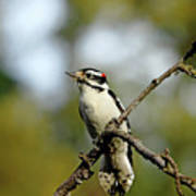 Downy Woodpecker In Fall Poster