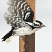 Downy Woodpecker In Flight Poster
