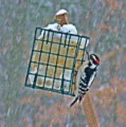 Downy Woodpecker In The Snow Poster