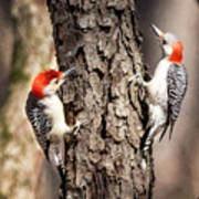 Downy Woodpeckers Poster