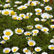 Dozens Of Daisies Poster