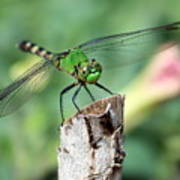 Dragonfly In The Flower Garden Poster