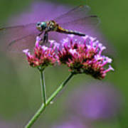 Dragonfly On Purple Verbena Poster