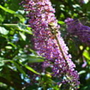 Dragonfly On The Butterfly Bush Poster