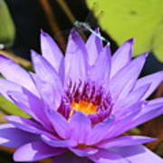 Dragonfly On Water Lily Poster