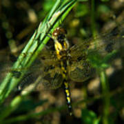 Dragonfly Venation Revealed Poster