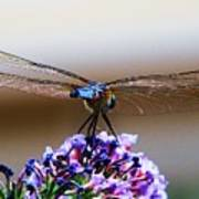 Drangonfly On A Purple Flower Poster