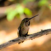 Dream Hummingbird Poster