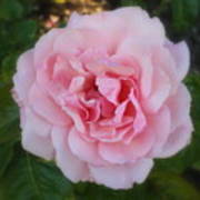Dream Rose Poster
