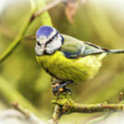 Dreamy Blue Tit Chirping Poster