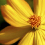 Dreamy Coreopsis Poster