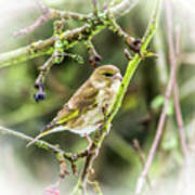 Dreamy Greenfinch. Poster