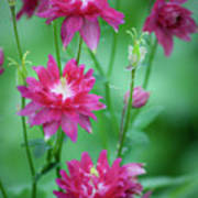 Dreamy Hot Pink Columbines Poster