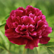 Dreamy Peony Poster by Sandy Keeton