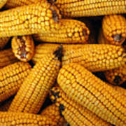 Dried Corn Cobs Poster