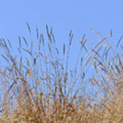 Dried Grass Blue Sky Poster
