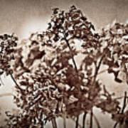 Dried Hydrangeas Poster