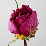 Dried Rose 4 Poster