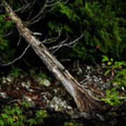 Drifted Tree Poster
