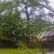 Droplets On Pine Branch Poster
