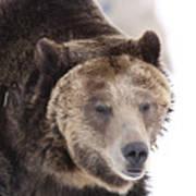 Drowsy Bear Poster