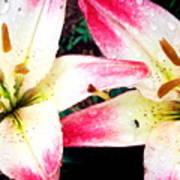Dual Pinks II Poster by Amanda Kiplinger