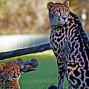 Dubbo Zoo Queen - King Cheetah And Cub Poster
