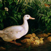 Duck And Ducklings Poster by English School