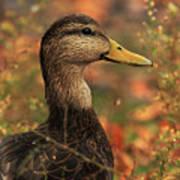 Duck In Autumn Poster